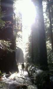 walking amongst the coastal redwoods of california