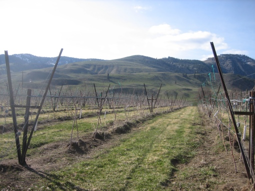 Apple trees of the Methow Valley