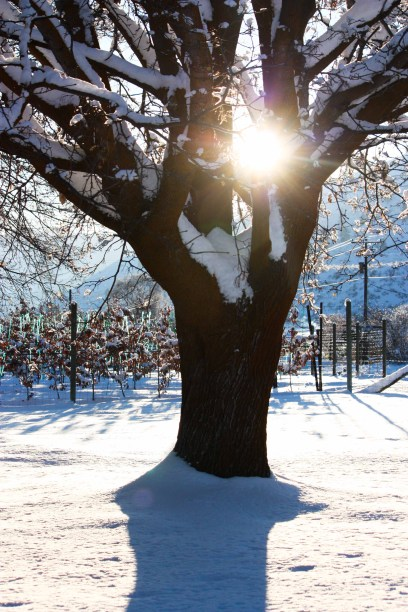 sun shining through snowy tree