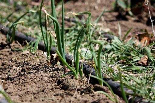 spring garden scallions Twisp WA