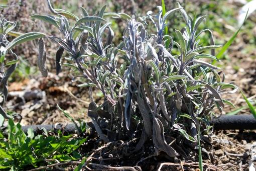 fresh herbs spring garden Twisp WA