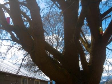 beer hidden in maple tree