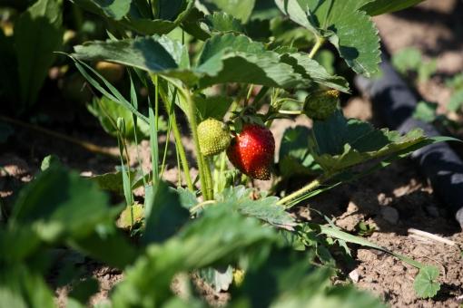 strawberry garden in Washington