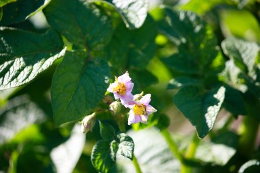 potato flowers in the garden, Washington