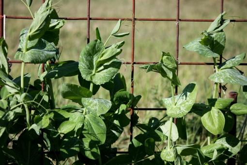 peas climbing a trellis, garden in Washington