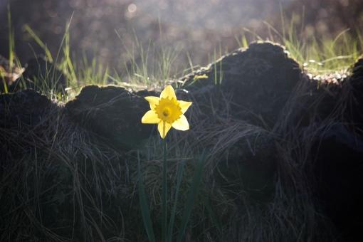 spring daffodil, Trout Lake WA