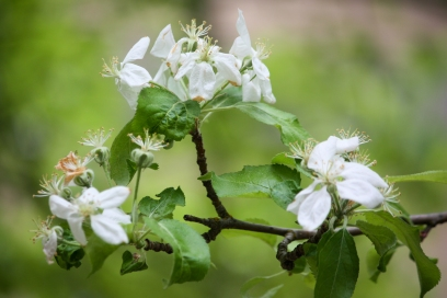 apple blossoms for mothers day, Trout Lake WA