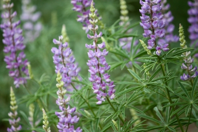 lupines for mothers day 2013, Trout Lake WA