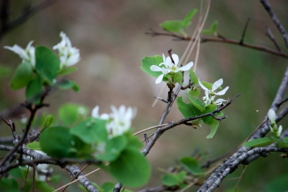 serviceberry bushes, wildflowers Washington