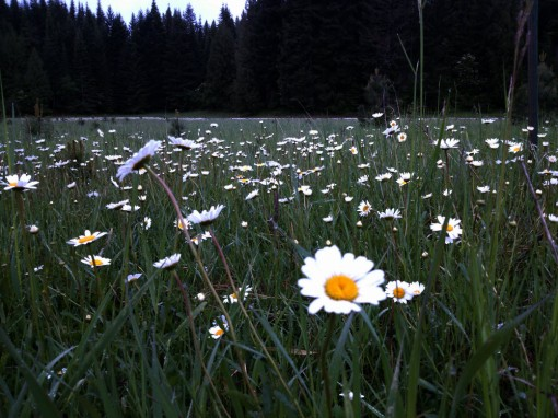 field of daisies, Trout Lake WA