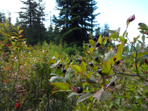 huckleberry picking, Indian Heaven Wilderness WA