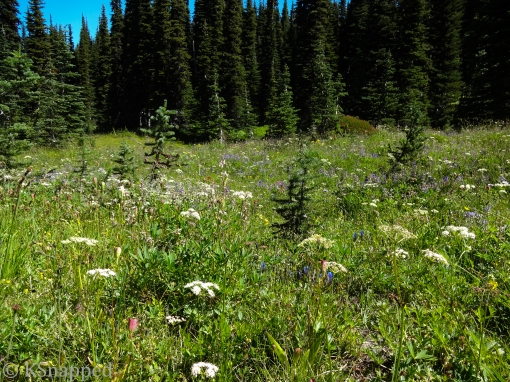 alpine meadows of flowers, north side of Mt Adams WA