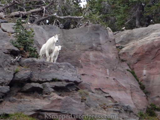 mountain goats on Mt Adams WA