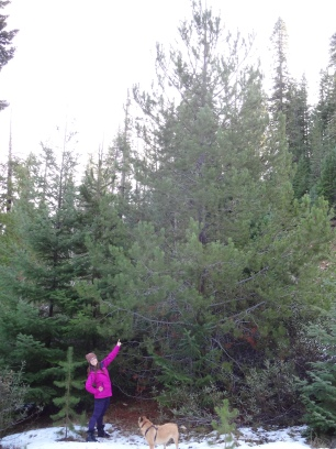 Christmas tree hunting, Mt Adams Gifford Pinchot NF