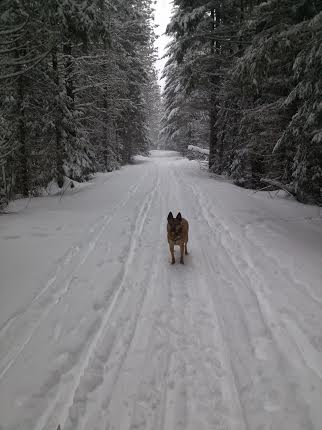 dog on the xc ski track, Big Tree Loop Trout Lake WA