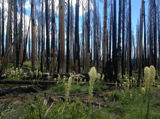 bear grass in a burn, mt adams wilderness WA