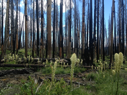 bear grass in a burn, mt adams wilderness WA