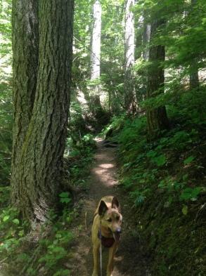 Trapper Creek trail, Trapper Creek Wilderness WA GPNF
